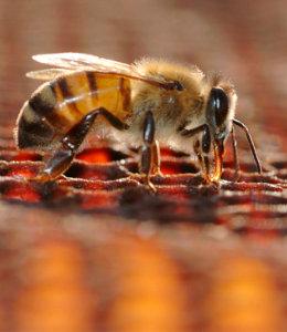 Honigbiene produziert den Staudenhonig