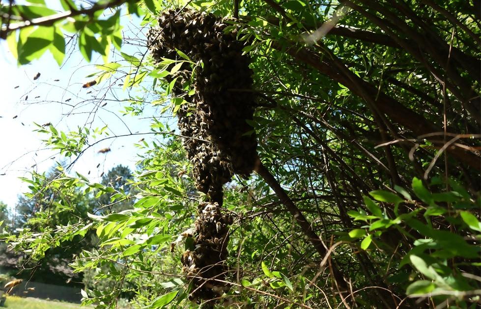 Bienenschwarm melden und der Imker fängt die Bienen ein