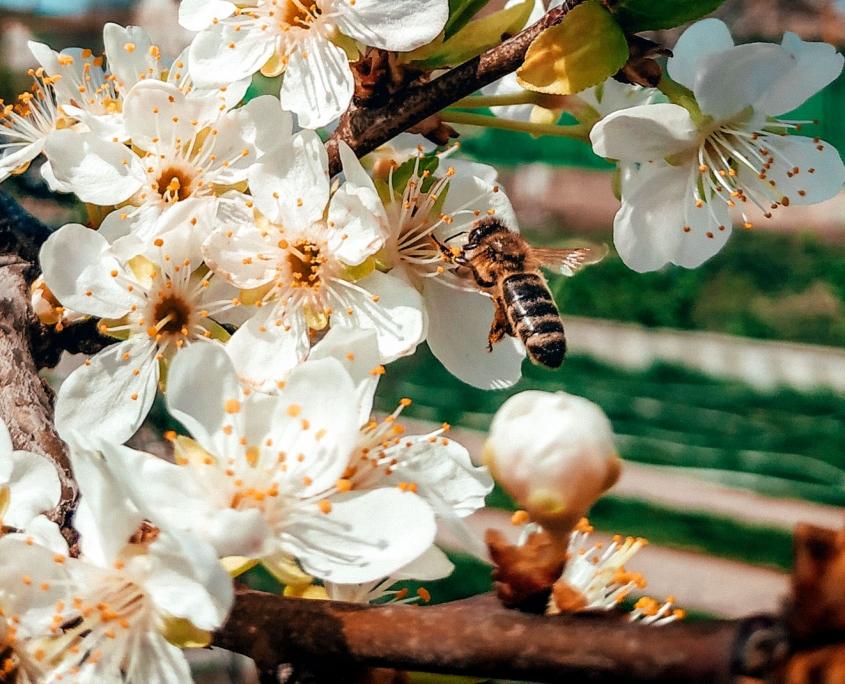 STAUDENHONIG - Frühjahrshonig aus den Stauden - Biene sammelt im Frühjahr Nektar und Pollen an Blüten
